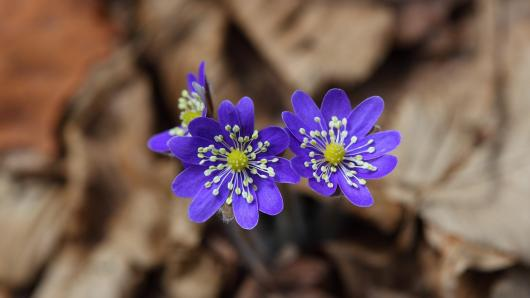 Pažinkime pavasarį pražystančius augalus