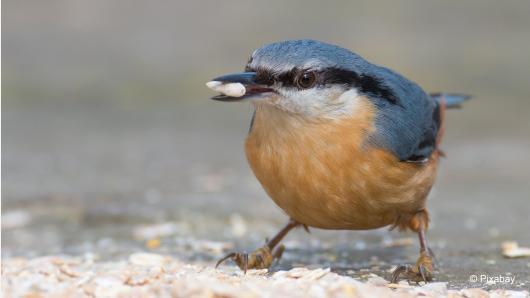 Pažinkite lesyklas lankančius paukščius: bukutis